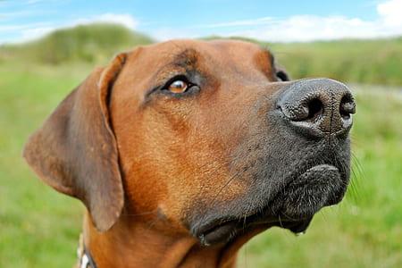 adult redbone coondhound on focus photo