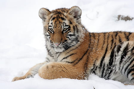 brown, white, and black tiger on snow field