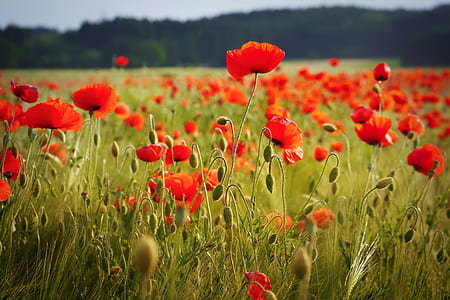 red poppies field closeup photo