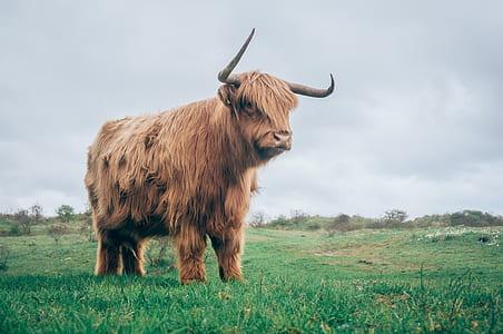 brown ox in green grass fiend