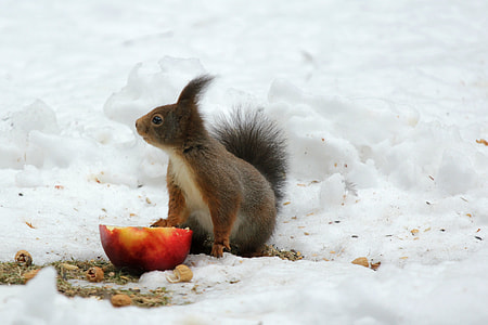 squirrel on snow ground in front of sliced apple during daytime