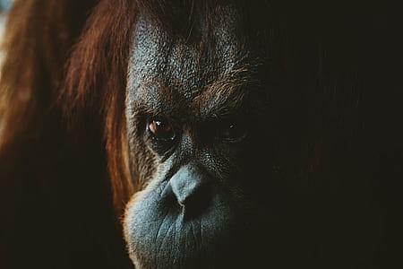 monkey, gorilla, orange, orangutan, wild, animal