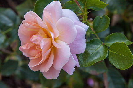 focused photo of pink flower