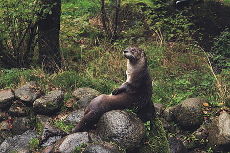 brown otter sitting on brown rock formation