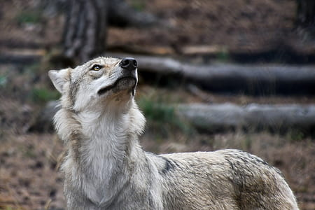 photo of grey wolf