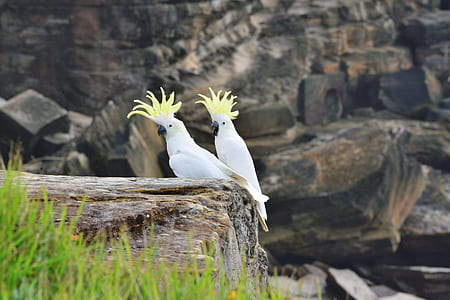 wildlife photography of two cockatiel birds