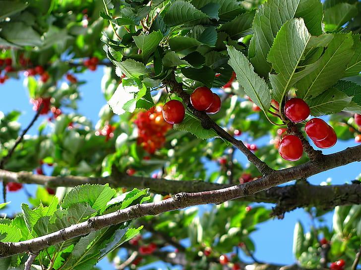 cherries fruit