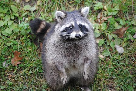 black and gray raccoon