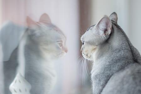 short-fur gray cat facing in the mirror