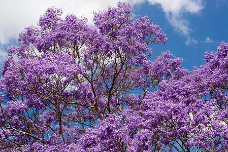 purple cherry blossom tree