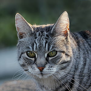photo of silver tabby cat