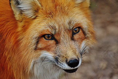 close-up photography of orange and white fox