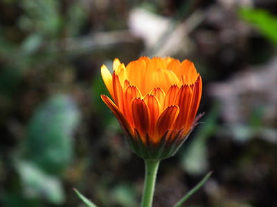 close up photo of orange daisy flower
