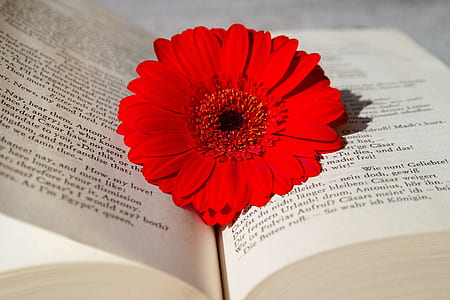 red gerbera flower laying on book