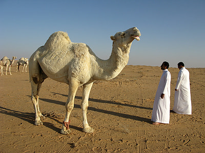 white camel near two men