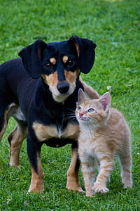 adult black and tan dachshund with orange tabby cat