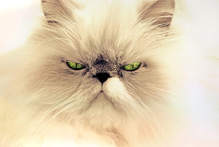 closeup photo of white Persian cat