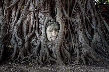 gray Buddha head bust in brown wooden tree