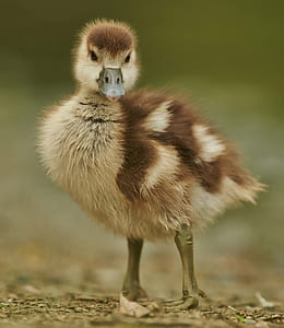 beige and brown duck chick