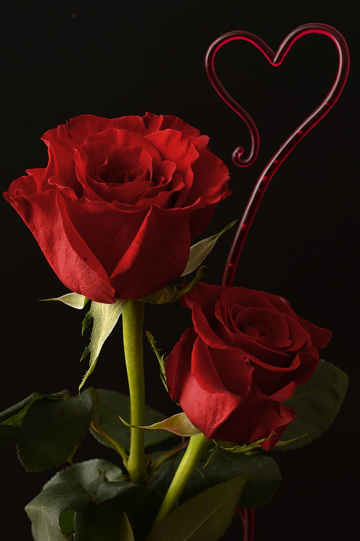 two red roses on black background