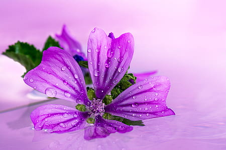 close-up photo of purple 5-petaled flower