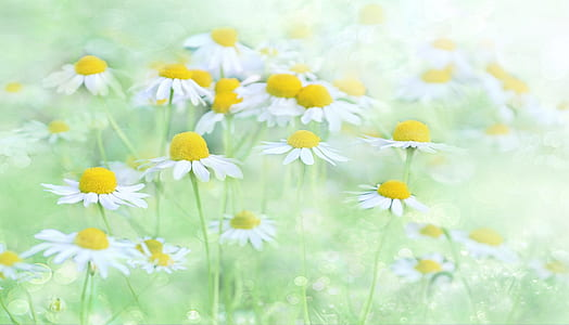 photo of white and yellow flowers on grass field