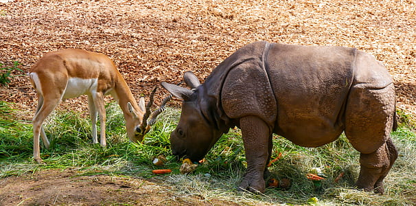 rhinocerous and deer eating grass