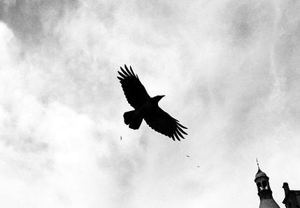 photo of flying raven
