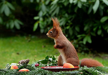 brown squirrel in front of plate with fruits