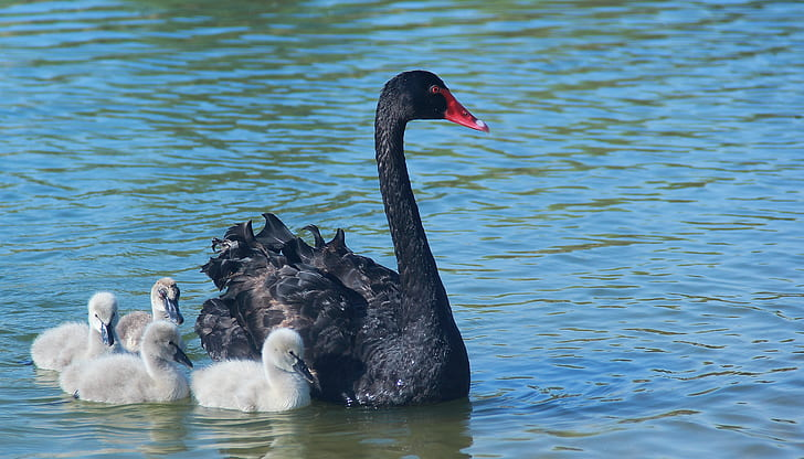 black swan with ducklings on body of water