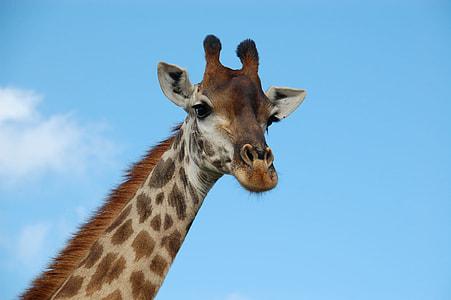 brown and gray giraffe under blue calm sky