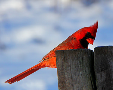 depth of field photography of cardinal bird on brown wooden post