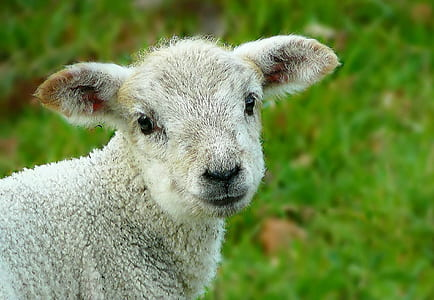 selective focus of gray lamb