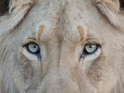 gray and brown lion eye