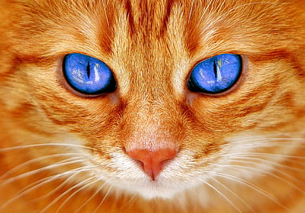 short-coated orange cat with blue eyes