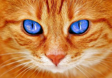 short-coated orange cat with blue eyes