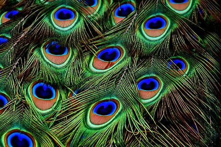 macro photograph of peacock feathers