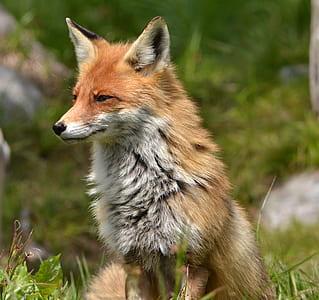 orange fox selective focus photography