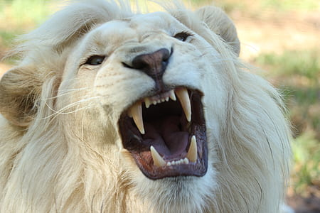 White Long Coat Lion