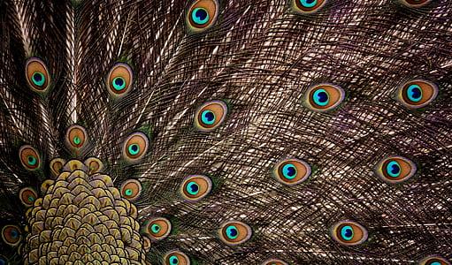 peacock digital wallpaper