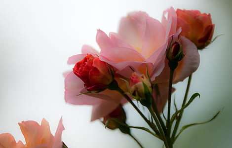 closeup photo of pink pink rose flower in full bloom
