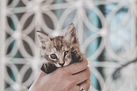 person holding gray kitten