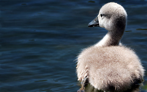 grey duck on body of water