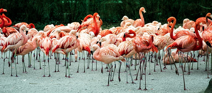 flock of flamingo at daytime