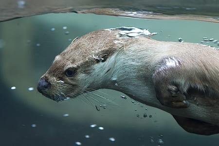 brown weasel under water