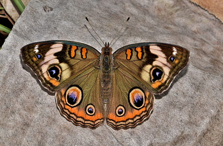 common buckeye butterfly on gray textile