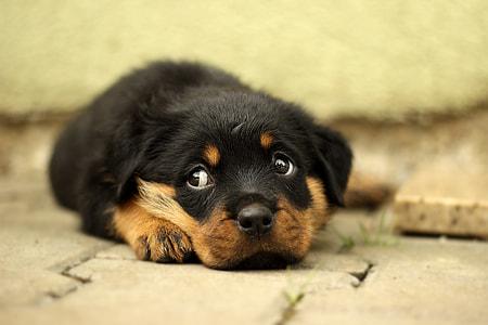 tan Rottweiler puppy