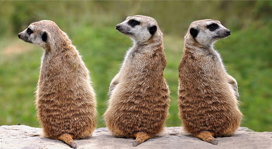 three brown meerkats sitting on the sand