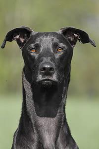 medium short-coated black dog