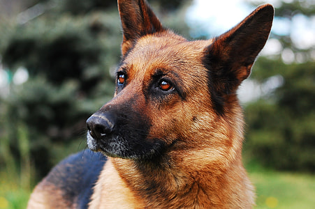 close up view of adult German shepherd